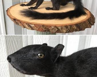 Black Full Body Squirrel Taxidermy Mount 001