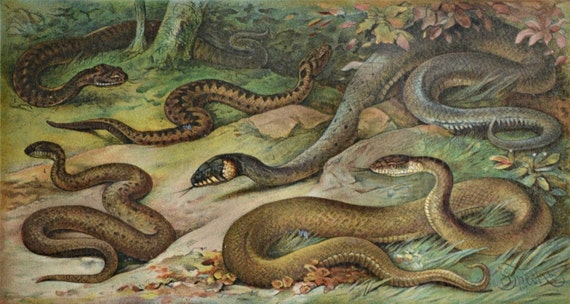 Snakes print. Reptile engraving. Aspic viper, adder. Old book plate, 1904. Antique  illustration. 113 years lithograph. 9'6 x 6'2 inches.