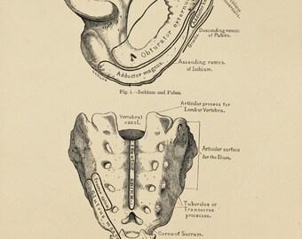 Antique Anatomy Print, Human Body, Skeleton, The Pelvis. Black and White Anatomical Print, Engraving (9)