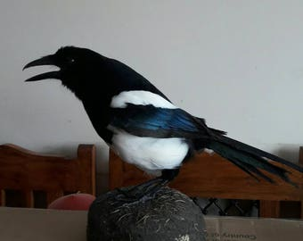 Taxidermy real magpie bird