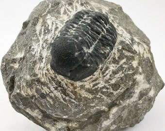 Fossil Gerastos Trilobite on Original Matrix - Fossilized Gerastos Trilobite from Morocco