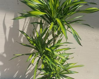 "Dracaena Goldstar Plant Plant in 10"" pot - About 60"" tall"