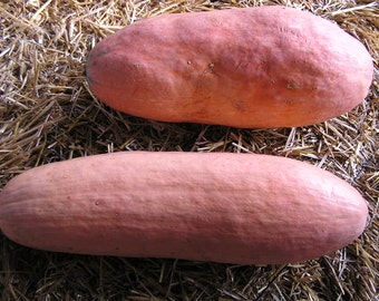 3 Plants - Pink Banana Winter Squash - Organic