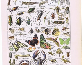 old print insects butterflies beetle bee 1905