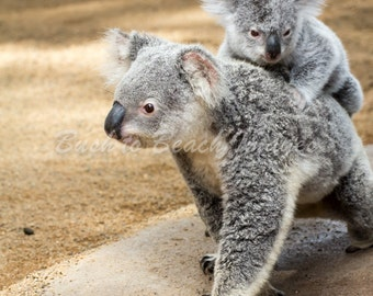 Koala and Joey, Nature Photography
