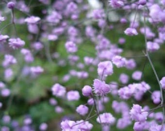 "Thalictrum delavayi "" Hewitt's Double"" 1 Gallon, tall perennial, shade/sun, Meadow rue, perennial, cutting garden, cutting, border, hardy"
