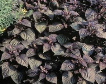 Wild Purple MInt Basil Beefsteak Plant Herb Seeds/Perilla Frutescens/Annual     30+