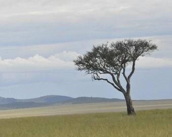 Kenya acacia tree - Maasai Mara National Park