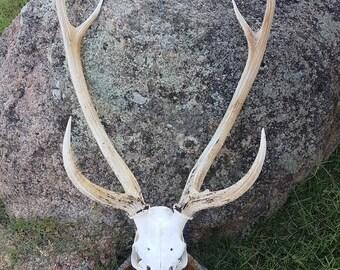 Real Chital Stag Deer Skull, European Mount Style