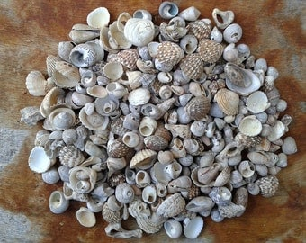 Tiny sea shell mix for crafts or jewelry making sea shells for Tiny shells for crafts