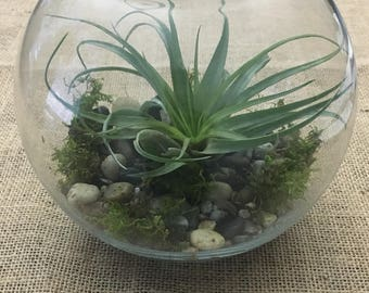 BEAUTIFUL Glass Globe Air Plant Terrarium Kit