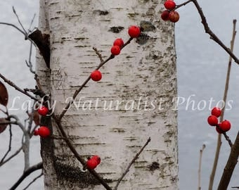 Birch and Winterberry