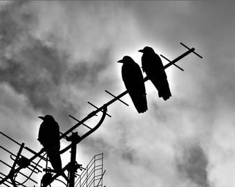 Crows in a Row