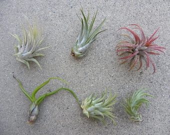 air plant pack 3, 5 10 packs of assorted tillandsia