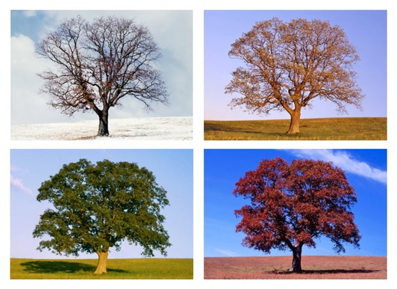 Tree In 4 Seasons Four Seasons Nature Photo Set Of 4