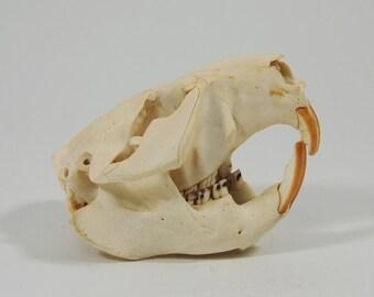 Beaver Skull (15-202)
