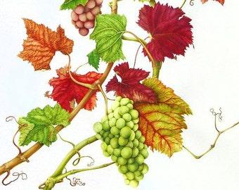 Red vine - venous tone tea, heavy legs