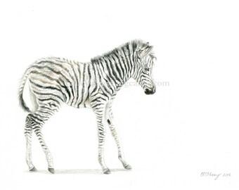 Zebra Foal - Fine Art Print
