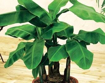 10 Fresh Musa Acuminata edible Dwarf Banana tree plant seeds tropical fruit - Combine Shipping!