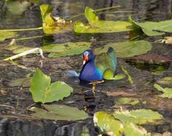 Adorned Purple Gallinule surrounded by Lily Pads