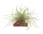 Air Plant Cluster Growing On Lava Rock Home Decor, Craft, Mother's Day Gift, Tropical Vivaria