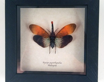 Real insect framed - Pyrops pyrorhyncha