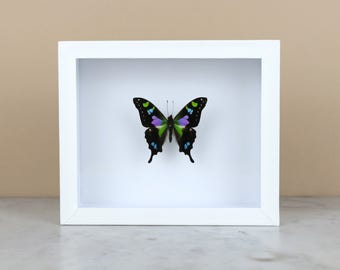 PURPLE MOUNTAIN SWALLOWTAIL in black or white frame (Graphium Weiskei) - real butterfly