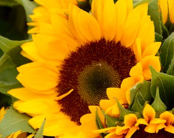Sunflower photography, flower photography, nature photography, wall print, fine art photography