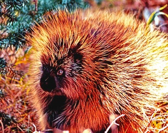 Pretty Porcupine Art Print