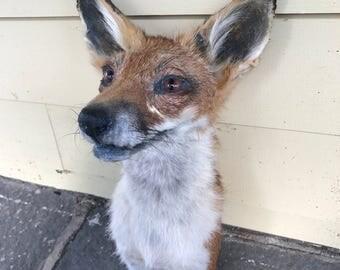Short Furred Red Fox Shoulder Mount