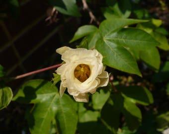 Upland Cotton  Gossypium hirsutum   20 Fresh Seeds