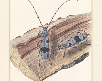 Vintage lithograph of cerambycidae, longhorn beetles, rosalia longicorn from 1955