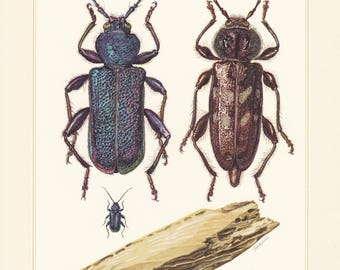 Vintage lithograph of cerambycidae, longhorn beetles, old-house borer, callidium violaceum from 1956