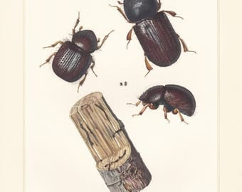 Vintage lithograph of pear blight beetle, ambrosia beetles from 1956