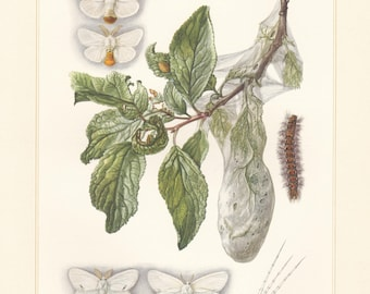 Vintage lithograph of brown-tail, yellow-tail, tussock moths from 1956