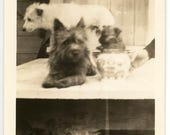 vintage photo Abstract Cairn terrier Puppy Dog Pitcher Hidden Hand Split Screen Fern Unusual