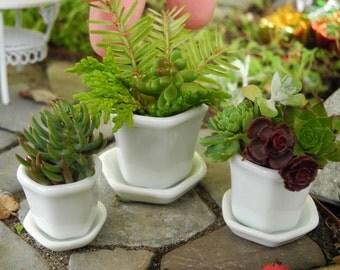 Miniature Porcelain White Pot Set with Sedum Cuttings, Authentic Glazed Porcelain 3 Pots with Saucers, Miniatures, Authentic Dollhouse Minis