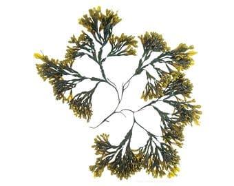 Seaweed: Fucus vesiculosis No.1 -  12 x 12 photograph