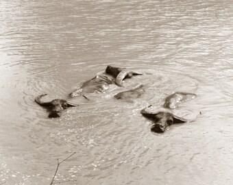 Swimming Water Buffalo, photograph taken by Lagana in 1971
