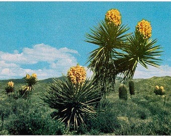 Vintage Arizona Postcard - Desert Yucca (Unused)