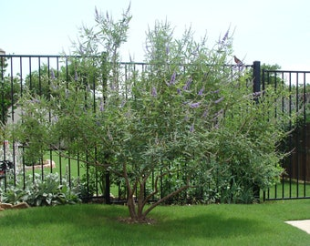 CHASTE TREE - Vitex Agnes - Purple