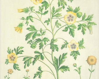 Botanical Book Plates Summer Sale Buy 3 Get 1 Free: Buttercups Hemp Mallow Hibiscus 1637 Etching Medicinal Herb Yellow Flower Plates 217/218
