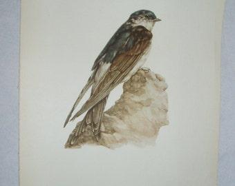 Bird Print, House Martin, Delichon urbica, 1962 Book Plate, Demartini