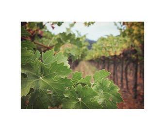 Vineyard Home Decor. Sonoma. Napa.  Purple. Yellow. Green. Gold. Nature Photography. Landscape Art. Kitchen Decor. Grapes on Vine