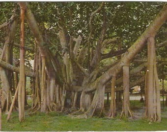Banyan Tree Hawaii Amazing Tree grows in Honolulu at the Civic Center, also at the Moana Hotel & Thomas Square Vintage Postcard