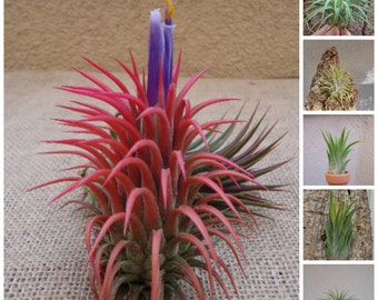 5 Pack Assorted Ionantha Air Plants FREE SHIPPING