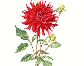1964 Vintage botanical art Vintage red hybrid dahlia poster Red Dahlia Botanical art Red flower poster botanist gift Red floral print
