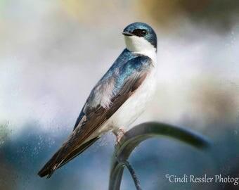 Tree Swallow, Birds, Bird Photography, Bird Photograph, Bird Watcher, Nature, Fine Art Photography, Photography, Garden