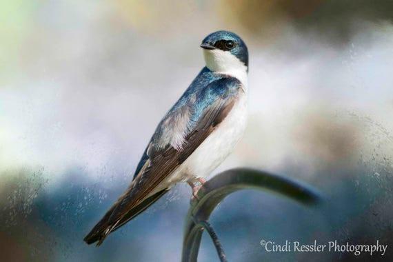 Tree Swallow, Birds, Bird, Photography, Photo, Bird Lover Gift, Nature Lover, Fine Art, Garden, Housewarming Gift, Wall Art, Office Decor