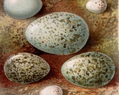 1892 Antique print of BIRD EGGS, different types. Egg. 125 years old nice lithograph.